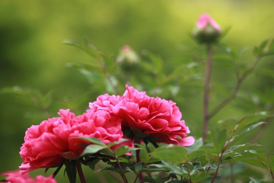 Pünkösd jelképei - pünkösdi rózsa